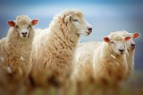 """Daily Might: """"Do You Love Me?"""" – """"Feed My Sheep!"""""""